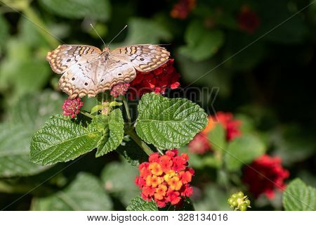 Close Up Of A Brown And Orange Butterfly With Red Flowers