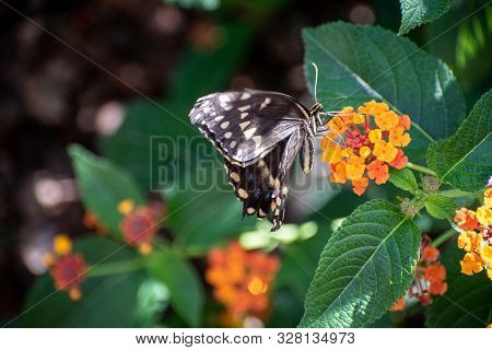 Pretty Black And White Butterfly On Small Orange Flowers
