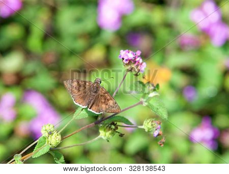 Erynnis Tristis, The Mournful Duskywing, Is A Species Of Spread-wing Skipper In The Butterfly Family