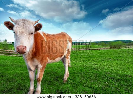 Happy Single Cow On A Green Summer Meadow.