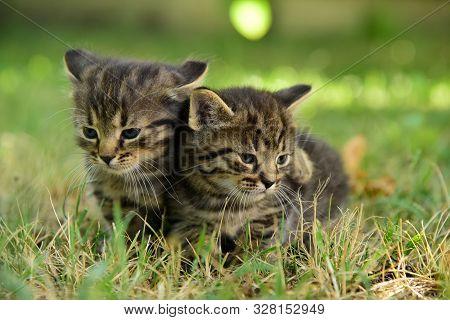 Two Cute Little Grey Kitten With Blue Eyes