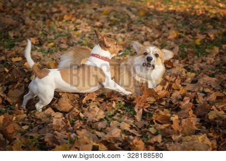 Dogs Welsh Corgi And Jack Russell Frolic And Play In The Autumn Park On The Yellow Leaves