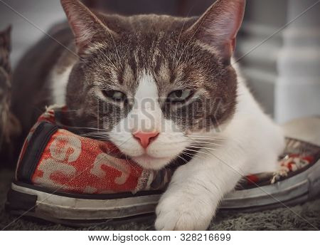 A disgruntled tabby house cat lies on a sporty red shoe and frowns because he considers the shoe his own. poster