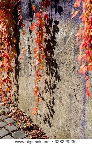 Red Hanging Ivy Vines Over Stone Wall In Autumn Sunny Day