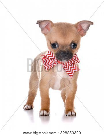 smooth coat chihuahua wearing a bow tie isolated on white background