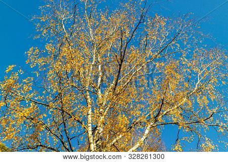 Nature Background With Yellow Birch Tree Crone And Bright Blue Sky