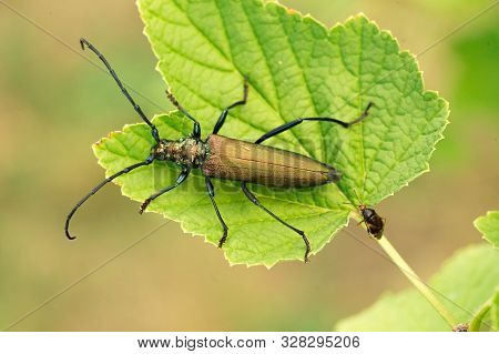 Aromia Moschata Longhorn Beetle Posing On Green Leaves, Big Musk Beetle With Long Antennae And Beaut