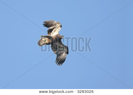 Young Bald Eagle (haliaeetus leucocephalus) in flight with a blue sky poster