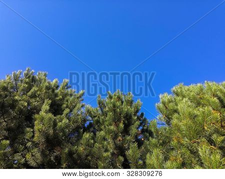 Blue Spruce On Blue Sky Background. Clear Sunny Windless Day. Branches Of Blue Spruce Play