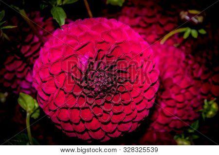 Dark Red Dahlia Flower In Bloom Spring