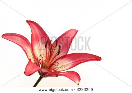 Asiatic Lily On White Background