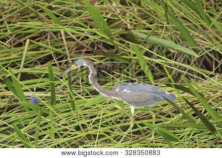 Tricolored Heron (egretta Tricolor) In Tall Swamp Grass