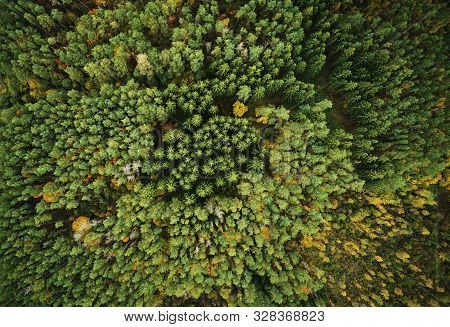Autumn Green Pine Forest