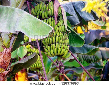 Organic Banana Plantation On Cyprus Island, Banana Palm Tree In Cyprus. Banana Flower Close-up. Bana