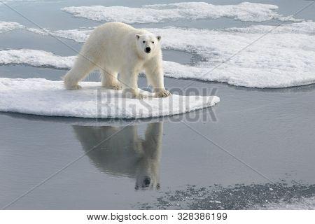 Wild Polar Bear On Pack Ice In Arctic