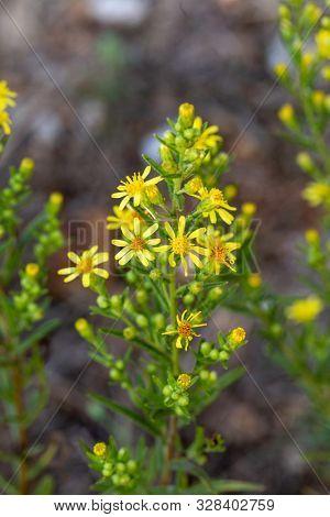 Dittrichia viscosa, false yellowhead, woody fleabane or  sticky fleabane beside a road in Crete, Greece. It is a common late-flowering herb
