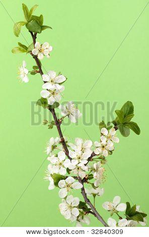 branch of blossom cherry