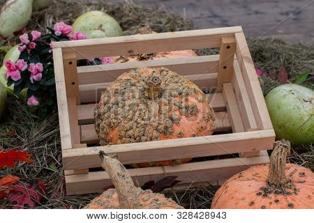 Zombie Pumpkin In A Wooden Box, Harvesting Vegetables. Patchy Squash With Growths, The Original Vari