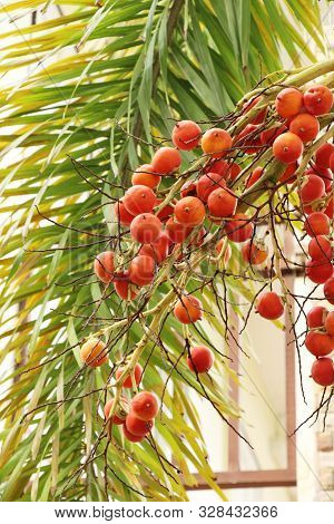 Betel Palm On Tree With The Nature