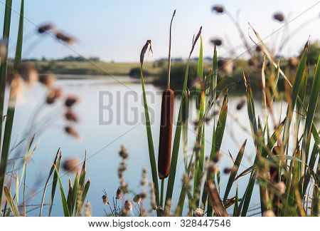 Green Bulrush Reed The Lake On The Background