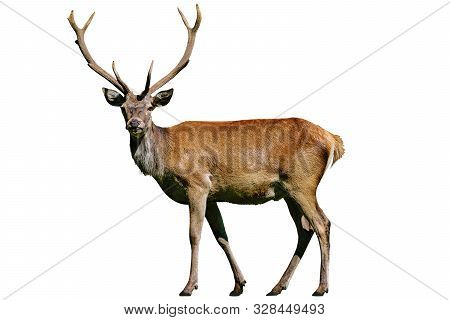 Portrait Of A Wild Red Deer Stag Isolated On A White Background In Close-up ( High Details)