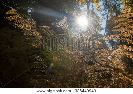 Sunlight Through Fall Colored Foliage With Lens Flare