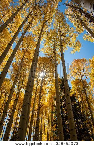 Beautiful yellow golden aspen trees in autumn