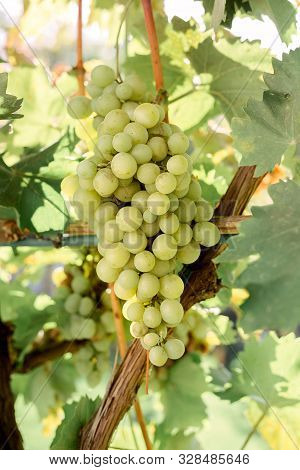 Close-up Ripe Bunch Of White Grapes On Vine For Wine Making. Autumn Grapes Harvest, Fresh Fruits. Ch