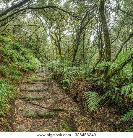 Relict Forest On The Slopes Of The Oldest Mountain Range Of The Island Of Tenerife. Giant Laurels An