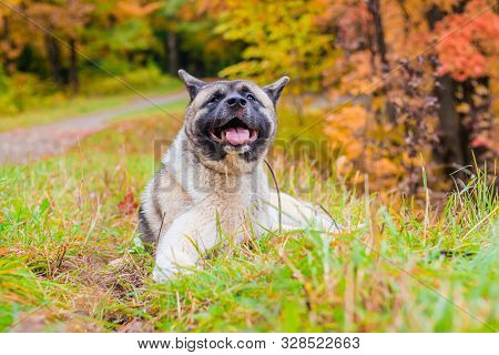 Akita Breed Dog On A Walk In The Autumn Park. Beautiful Fluffy Dog. American Akita.