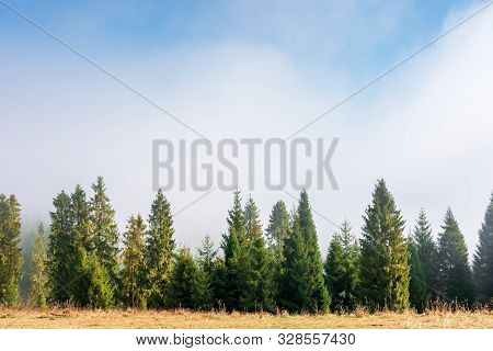 Spruce Trees On The Grassy Hillside On Foggy Morning. Wonderful Autumn Scenery. Magical Nature Backg