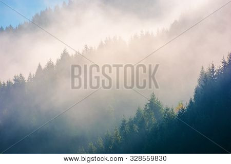 Spruce Trees In Morning Light On A Hill Side. Coniferous Forest On Foggy Sunrise In Carpathian Mount