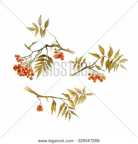 Sorbus Aucuparia, Rowan Branch With Leaves And Berries In Autumn, Set, Watercolor Illustration Isola