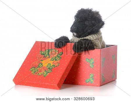 8 week old male bouvier des flandres puppy inside a christmas gift  on white background