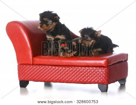 litter of Yorkshire terrier puppies on a red leather couch isolated on white background