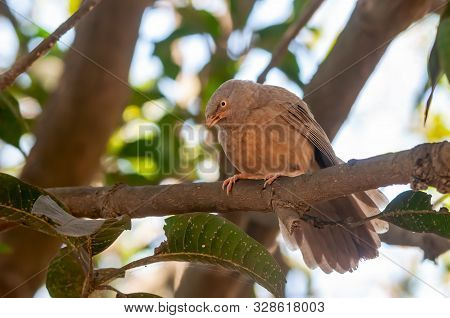 Jungle Babbler Sitting On A Tree Branch Looking Serious