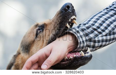 One German Shepherd Bites A Man By The Hand. Training And Breeding Thoroughbred Dogs.