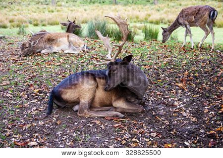 View Of A Fallow Deer In The Middle Of His Pack, Latin Dama Dama
