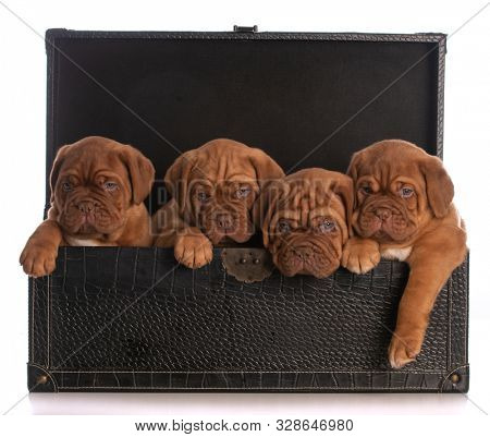 litter of four rogue de Bordeaux puppies in a leather trunk isolated on white background