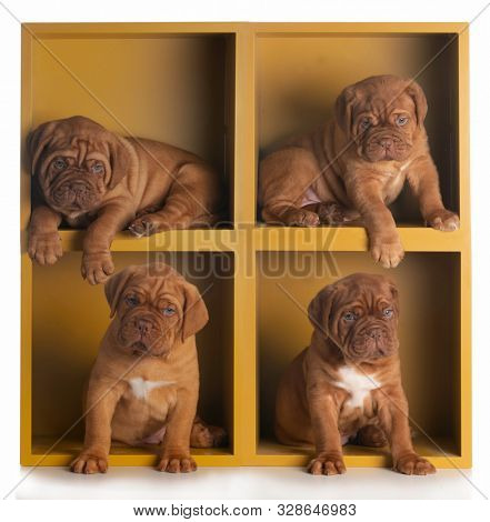 litter of four dogue de Bordeaux puppies in a yellow stacking shelf