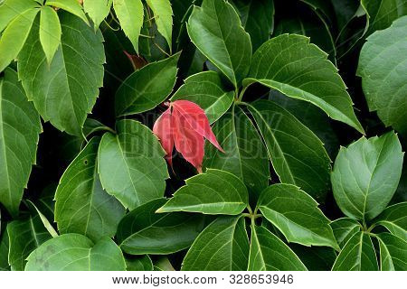 Closeup Of Red Leaf/ Conceptual Image Of Differences And Unique/ Closeup And Macro Nature Photograph