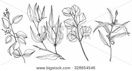 Vector Eucalyptus Tree Leaves. Black And White Engraved Ink Art. Isolated Eucalyptus Illustration El