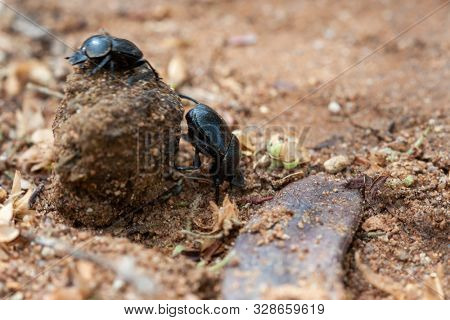 two black dung beetle carry the dung through the warm sand