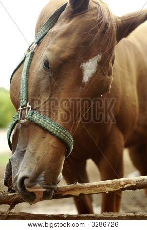 Head of red hair young horse trying to eat wood poster