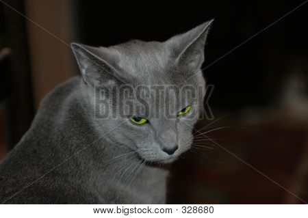 Sad Russian Blue Cat