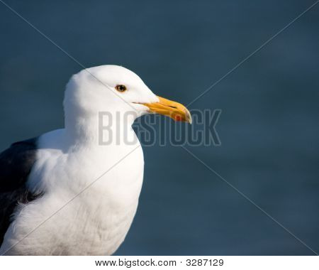 Seagull With Ocean In The Background