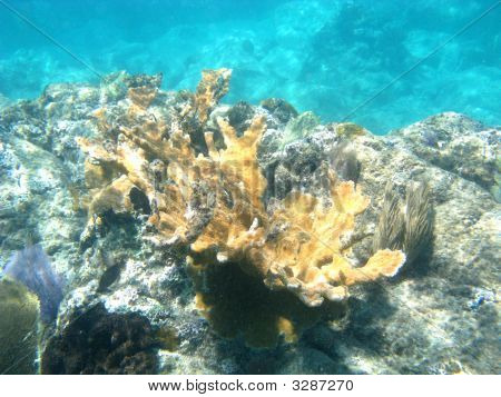 Stag Coral From Underwater