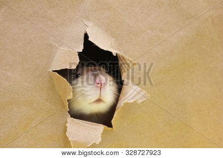 Rat Is Looking Through The Ragged Hole In The Paper. Happy New Year 2020. Chinese Calendar. Year Of