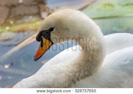 White Swan With Detail Of The Head And Neck