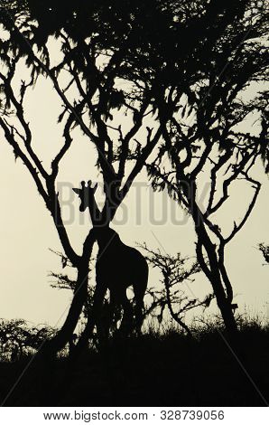Silhouette Of A Watchful Giraffe On The Savanna In The Midst Of Trees In Tarangire National Park In